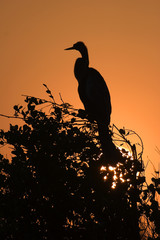 Anhinga at Sunrise II