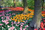 Fototapety Tulips under the trees in spring