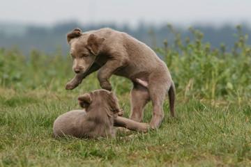 chiots braque de weimar jouant ensemble - bagarre combat