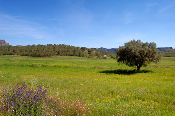 Springtime: old olive tree and wildflowers