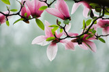 Fototapety Magnolia