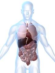 transparenter körper mit organen