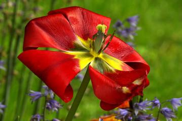 Tulipano sfiorito
