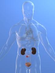 transparenter körper mit nieren, blase und urostomy