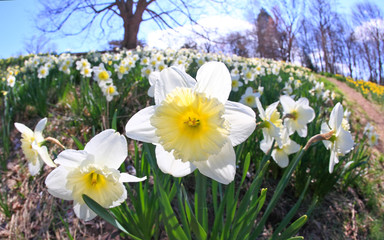 The daffodil blooming in spring