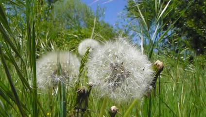 graines au gré du vent