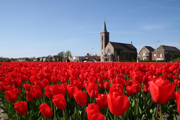Bulb field in Holland