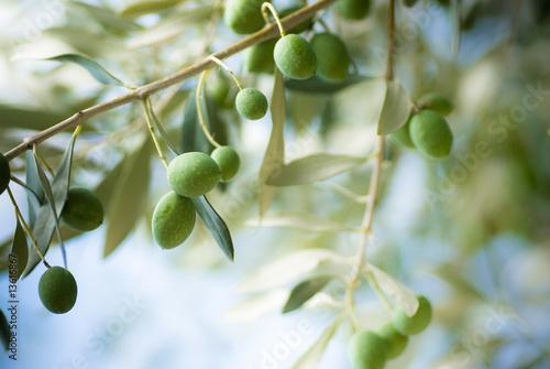 Staande foto Olijfboom image d'une branche d' olivier avec des olives vertes