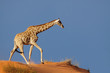 Giraffe on a sand dune, Kalahari desert, South Africa