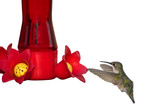hummingbird digests nectar