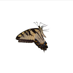 profile of tiger swallowtail on a white background