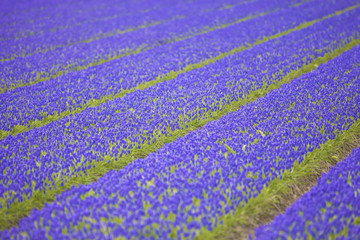 a field with fresh hyacinth flowers in spring