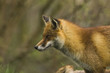 red fox in uk 2
