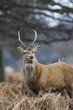 red deer in bushey park