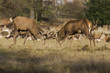 red stags rutting in bushy park