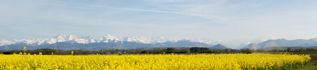 Panoramic landscape of a rapeseed field