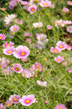 Pink cosmos flowers poster