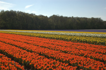 Multi color tulip fields