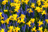 Daffodils and common grape hyacinth