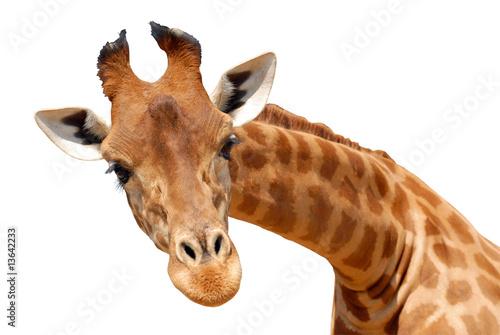 Poster Détourage du portrait d'une girafe