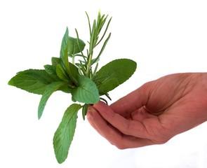 erbe aromatiche nella mano
