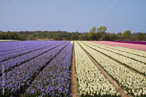 colorful fields of hyacinths under a nice blue sky