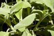 Salvia