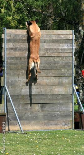chien,berger,belge,malinois,dressage,obstacle,hauteur,saut,