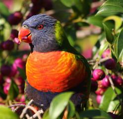 The Australian Rainbow Lorikeet - close up.
