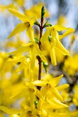 yellow flowers (Forsythia)
