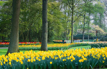 Yellow daffodils and tulips