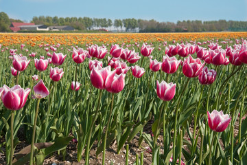 Field of tulips in the Netherlands
