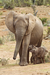 A mother protects her young calf