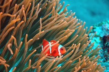 Westlicher Anemonenfisch - Bali, Tulamben