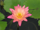 Nymphaea 'Afterglow' waterlily hybrid first day flower