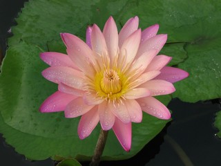 Nymphaea 'Afterglow' waterlily second day flower