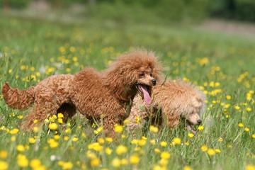 balade de deux caniches nain dans un champ de fleurs