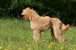 profil du grand caniche adulte fier et harmonieux