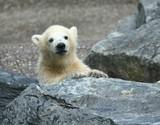 junger Eisbär