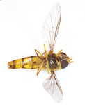 A macro photo of an imitation bee poster