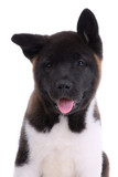 .Akita purebred puppy on white background poster