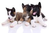 three akita purebred puppies on white background poster