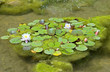 Pond, with frogs ,spatterdock and lilies