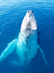 Majestic endangered Humpback whale in the ocean