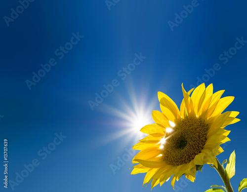 Plexiglas Zonnebloemen Sonnensonnenblume