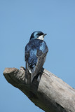 Tree Swallow on a stump poster