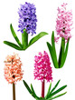 Four Hyacinth