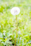 dandelion's blowball in green background