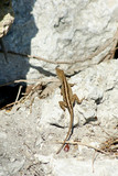 looking dowm on small lizard on rock in sunshine