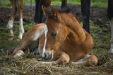 Baby foal laying  on a bed of straw
